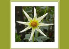 Buy Beautiful Star Flower Greeting Card