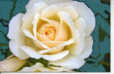 Buy Lovely White Rose Greeting Card