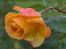 Buy Lovely Yellow Rose Get Well Greeting Card