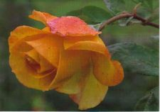 Buy Yellow Rose Thinking of You Greeting Card