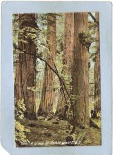 Buy CAN B C Postcard A Group Of Forest Giants can_box1~6