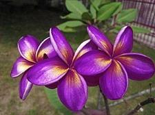 Buy 10 Purple Yellow Plumeria Seeds Plants Flower Lei Hawaiian Perennial Seed 2-477