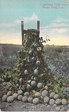 Buy Cantaloupe Field Near Rocky Ford, Colo. Used Vintage Postcard