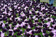 "Buy 5 Light Dark Purple Tulip Bulbs ""Shaded of Purple"" Spring Flower Garden Bloom"