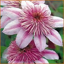 Buy 25 Pink White Clematis Seeds Large Bloom Climbing Perennial Garden Flower 409