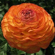 Buy 25 Orange Persian Buttercup Seeds Ranunculus Asiaticus Peony Seed Flower Bloom