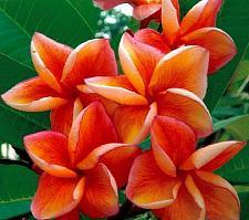 Buy 10 Orange Plumeria Seeds Plants Flower Lei Hawaiian Perennial Seed Garden 648