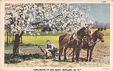 Buy Believe it or Not, Ripley, N.Y. Postcard