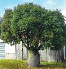 Buy 10 Queensland Bottle Tree Seeds Palm Tropical Perennial Tree Ornimental Seed