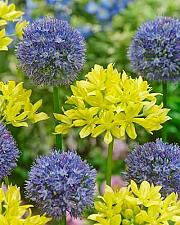 "Buy 25 Yellow Blue Allium Bulbs ""Molly & Azurum"" Bloom Flowering Onion Perennial"