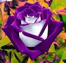 Buy 10 White Purple Rose Seeds Flower Bush Perennial Shrub Garden Home Exotic Garden