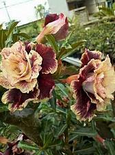 Buy 4 Cream Maroon Desert Rose Seeds Adenium Obesum Flower Perennial Exotic Bloom