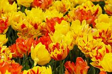 "Buy 5Yellow Orange Tulip Bulbs ""Tuip on Fire"" Spring Flower Garden Bloom Fall Bulb"