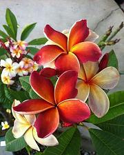 Buy 5 Dark Orange Plumeria Seeds Plants Flower Lei Hawaiian Perennial Bloom 2-647