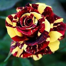 Buy 10 Red Yellow Rose Seeds Flower Bush Perennial Shrub Garden Home Exotic Garden