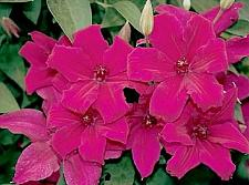 Buy 25 Dark Pink Clematis Seeds Large Bloom Climbing Perennial Garden Flower 504