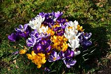 "Buy 20 Purple Yellow White Crocus Bulbs ""Jumbo Mix"" Perennial Fall Flower Spring"