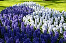 "Buy 5 Light Dark Blue Hyacinth Bulbs "" Tropical Water"" Fragrant Hyacinth Perennial"