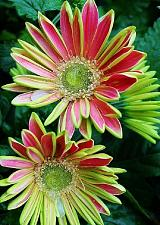 Buy 25 Pink Green Daisy Seeds Osteospermum Flower African Exotic Garden Bi Color