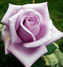 Buy 10 Light Purple Rose Seeds Flower Bush Perennial Shrub Garden Home Exotic Garden