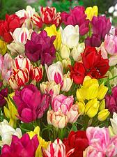 "Buy 5 Yellow Pink Red Tulip Bulbs ""Its Club Time"" Spring Flower Garden Bloom Fall"
