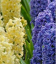 "Buy 5 Yellow Blue Hyacinth Bulbs ""Miami Mix"" Fragrant Hyacinth Perennial Fall Spring"