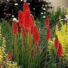 Buy 25 Red Hot Poker Seeds Torch Lily Wild Flower Kniphofia Uvaria Perennial Garden