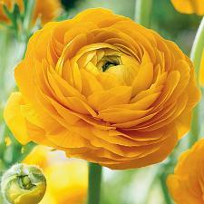 Buy 25 Dark Yellow Persian Buttercup Seeds Ranunculus Asiaticus Peony Seed Flower