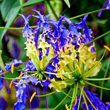 Buy 10 Blue Yellow Flame Lily Seeds Fire Glory Lillies Gloriosa Climbing Flower Seed