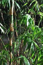 Buy 50 Black Hair Bamboo Seeds Privacy Climbing Garden Clumping Seed Shade 547