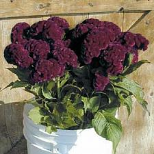 Buy 50 Burgandy Crested Cockscomb Seeds Annual Celosia Argentea Ornamental Seed 746
