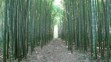 Buy 50 Rare Moso Bamboo Seeds Privacy Climbing Garden Clumping Shade Screen 389