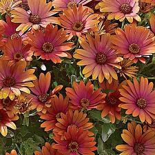 Buy 25 Red Orange Daisy Seeds Osteospermum Flower African Exotic Garden Bi Color