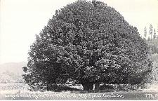 Buy Largest Known Myrtle Tree In the World, Coos Oregon Real Photo Vintage Postcard