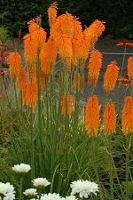 Buy 25 Orange Poker Seeds Torch Lily Wild Flower Kniphofia Uvaria Perennial