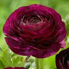 Buy 25 Dark Red Persian Buttercup Seeds Ranunculus Asiaticus Peony Seed Flower