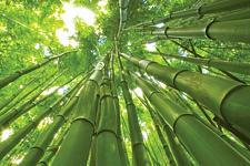 Buy 50 Rare Giant Bamboo Seeds Privacy Plant Garden Clumping Exotic Shade Screen 387