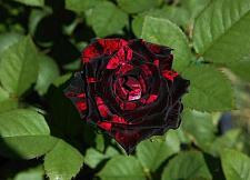 Buy 10 Black Red Rose Seeds Flower Bush Perennial Shrub Garden Home Exotic Garden