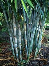 Buy 50 Rare Blue Bamboo Seeds Privacy Plant Garden Clumping Exotic Shade Screen 383