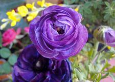 Buy 25 Violet Persian Buttercup Seeds Ranunculus Asiaticus Peony Seed Flower Bloom