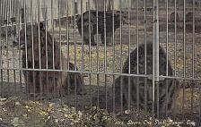Buy Denver, Colo Bears at City Park.Vintage Used 1911 Postcard