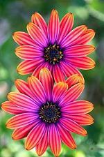 Buy 25 Bright Pink Orange Seeds Osteospermum Flower African Mix Flower Exotic Garden