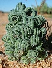 Buy 10 Green Curley Cactus Seeds Mixed Heat Rare Succulents Stone Flower Desert Sun