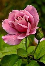 Buy 10 Blush Pink Rose Seeds Flower Bush Perennial Shrub Garden Home Garden Exotic