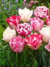 "Buy 5 Pink White Red Tulip Bulbs ""Marshmallow"" Spring Flower Garden Bloom Fall Bulb"
