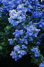 Buy 25 Blue Lilac Seeds Tree Fragrant Hardy Perennial Flower Shrub Garden Bloom