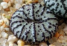 Buy 10 Light Green Black Cactus Seeds Mixed Heat Rare Succulents Stone Flower Desert
