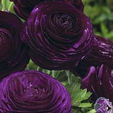 Buy 25 Dark Purple Persian Buttercup Seeds Ranunculus Asiaticus Peony Seed Flower