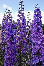Buy 50 Purple Delphinium Mix Seeds Perennial Garden Flower Bright Sun Shade
