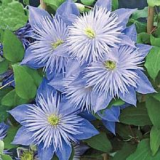 Buy 25 Light Blue Clematis Seeds Large Bloom Climbing Perennial Garden Flower 413